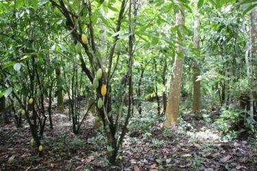 Association cacao-Cedrella