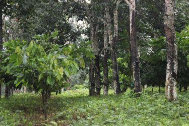 Association cacao-hévéa à Adzopé (Est de la Côte d'Ivoire) - Copie