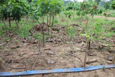 Irrigation cacao goutte à goutte
