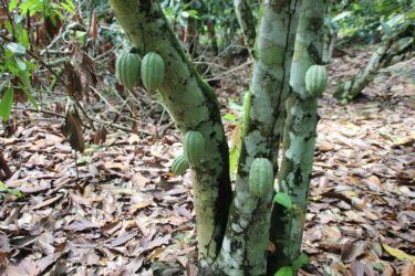 Jeunes cabosses de cacao