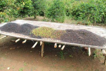 Séchage des cerises de café