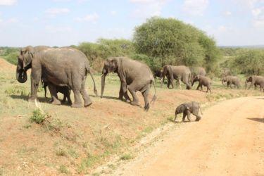 Eléphants (3)