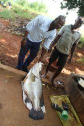 Capitaine pêché dans le lac de Kossou